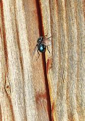 Bigbluebottlebutt !  13.11.20. (VolVal) Tags: dorset bournemouth boscombe garden fly bluebottle butt cabin november