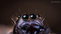 Jumping Spider Eyes (strjustin) Tags: jumpingspider arachnid spider beautiful bug eyes insect macro mpe