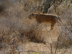 P1200567b (o spot) Tags: 2019 southafrica kruger best lion