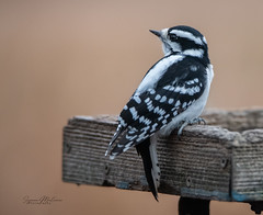 Downy Woodpecker (Rainfire Photography) Tags: bird downy woodpecker whitby ontario canada wildlife nature lyndeshores cranberrymarsh