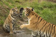 Amoertijger - Safaripark Beekse Bergen - Hilvarenbeek (Jan de Neijs Photography) Tags: dierentuin zoo tamron tamron150600 150600 dierenpark nl holland thenetherlands dieniederlande diergaarde g2 animal dier beeksebergen safaripark safariparkbeeksebergen hilvarenbeek amurtiger tijger tiger roofdier pantheratigrisaltaica siberischetijger sbb amoertijger tamron150600g2 noordbrabant welp