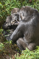 I think Big Sis Kibibi is showing off her boogers collection, but I could be wrong. (Tim Brown's Pictures) Tags: washingtondc nationalzoo smithsonian zoo zoos park outdoors rockcreek animals mammals endangeredspecies primates gorillas westernlowlandgorilla washington dc unitedstates