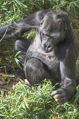 Western lowland gorillas at the National Zoo in Washington, DC. (Tim Brown's Pictures) Tags: washingtondc nationalzoo smithsonian zoo zoos park outdoors rockcreek animals mammals endangeredspecies primates gorillas westernlowlandgorilla washington dc unitedstates