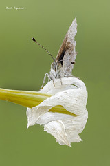 Cupido minimus (Raul Espino) Tags: macro macrofotografia butterfly mariposa cupidominimus canon6dmarkii canon canon100mml sevilla