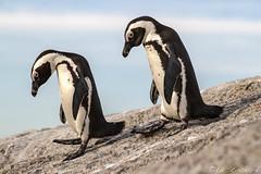African Penguins (Ed.Stockard) Tags: endangered penguin africanpenguin bird flightless jackass southafrica bouldersbeach sanparks