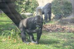 Morning graze (Tim Brown's Pictures) Tags: washingtondc nationalzoo smithsonian zoo zoos park outdoors rockcreek animals mammals endangeredspecies primates gorillas westernlowlandgorilla washington dc unitedstates