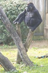 Doouble stumped (Tim Brown's Pictures) Tags: washingtondc nationalzoo smithsonian zoo zoos park outdoors rockcreek animals mammals endangeredspecies primates gorillas westernlowlandgorilla washington dc unitedstates