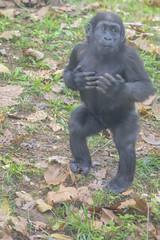 I am Moke! You'd better know me! (Tim Brown's Pictures) Tags: washingtondc nationalzoo smithsonian zoo zoos park outdoors rockcreek animals mammals endangeredspecies primates gorillas westernlowlandgorilla washington dc unitedstates