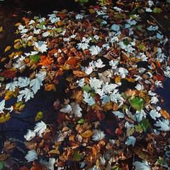R9299649 (Kroni Toropov) Tags: nature autumn leaves color ricohgxr photivo природа осень