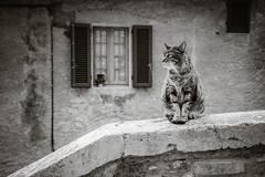 Il gatto alla finestra.jpg (Darren Berg) Tags: italy cat blackwhite bw mono monotone window stair dof feline italian