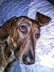 Folded Ear (neukomment) Tags: dog pet animal perro hund chien expressions