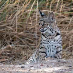 Waiting For Mom (dan.weisz) Tags: bobcat wildcat feline tucson mammal