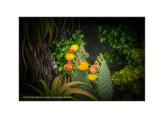 Walking through the magical Garden (My digital Gallery) Tags: magical garden garten blooming blossoms blüten blühen kaktus kakteen