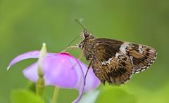 Tree Flitter (Soumik's Photography (Wildlife)) Tags: hyarotis adrastus praba tree flitter butterfly macro nikon d7200 105mm f28 west bengal north 24 parganas gobardanga