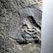 Olenellus sp. (fossil trilobite) (Pioche Formation, Lower Cambrian; Ruin Wash, Chief Range, Nevada, USA)