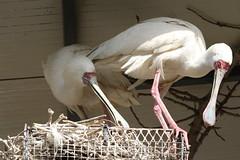 Nesting Spoonbills (Roy Lowry) Tags: spoonbill bugibba malta plataleaalba africanspoonbill
