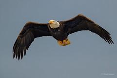 Flying at the Lagoon - Bald Eagle (Chantal Jacques Photography) Tags: wildandfree flyingatthelagoon baldeagle