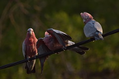 Galahs (Luke6876) Tags: galah cockatoo parrot bird animal wildlife australianwildlife nature family galahs