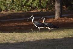 Straw-necked Ibises (Luke6876) Tags: strawneckedibis ibis ibises bird animal wildlife australianwildlife nature park