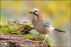 Geai des chênes / Eurasian Jay (denismichaluszko) Tags: geaideschênes eurasianjay nature viesauvage background couleurs wildlife birdlife naturephotography