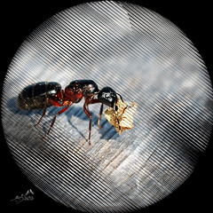 Giant Ant (SØS'Art) Tags: ant digiar digitalartwork art kunstnerisk manipulation solveigøsterøschrøder artistic filterforge insect nature photomanipulation photoshop