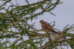 2019.06.08.3910 Brown Snake Eagle (Brunswick Forge) Tags: 2019 grouped tanzania africa serengeti serengetinationalpark bird birds outdoor outdoors animal animals animalportraits wildlife nature nikkor200500mm summer winter nikond500 day cloudy clear sky air