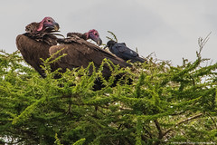 2019.06.08.3899 Vultures & Cape Rook (Brunswick Forge) Tags: 2019 grouped tanzania africa serengeti serengetinationalpark bird birds outdoor outdoors animal animals animalportraits wildlife nature nikkor200500mm summer winter nikond500 day cloudy clear sky air