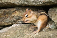 I'm sure I can squeeze one more nut in 502_1526.jpg (Mobile Lynn) Tags: chipmunk rodents nature fauna mammal mammals rodent rodentia wildlife woodstock vermont unitedstatesofamerica coth specanimal ngc coth5 npc