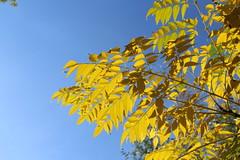 Καλημέρα! ~ Good morning! :-) (Argyro Poursanidou) Tags: leaf leaves colorful nature sky blue yellow autumn tree φύση φθινόπωρο φύλλα δέντρο
