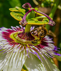 David and goliath (AWLancaster) Tags: bee honey canon macro unclose passionflower flowers spring stamen upclose