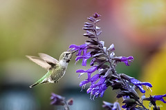 Hummingbird (Mi fantasy) Tags: wings flowers backyard purple bird wildife hummingbird feeding flight