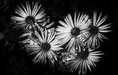 Shining Autumn Lights (AnyMotion) Tags: aster astern blossom blüte light licht sunshine sonnenschein 2019 anymotion plants pflanzen nature natur botanischergarten frankfurt 7d2 canoneos7dmarkii bw blackandwhite sw ngc npc