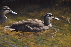 Pacific Black Ducks (Luke6876) Tags: pacificblackduck duck ducks bird animal wildlife australianwildlife nature water