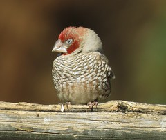 Feeling sleepy after that nice meal!  ( Red-headed Finch  /   Rooikopvink ) (Pixi2011) Tags: birds southafrica africa wildbirds
