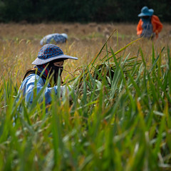 Hard Work (Mauro Raunich) Tags: travel thailand harvest rice fields farming ngysa people