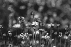 bnw flowers (Greg M Rohan) Tags: nikon d750 nikkor 2019 flowers blackandwhite bw flower monochrome blackwhite bokeh bnw plant nature
