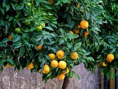 Zitronatzitrone (ingrid eulenfan) Tags: italien italy italia gardasee limoni limonicedri zitronatzitrone citrusmedica judenapfel zedrate limone limonedegarda