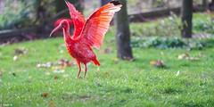 Red Ibis - 7704 (✵ΨᗩSᗰIᘉᗴ HᗴᘉS✵84 000 000 THXS) Tags: ibis redibis red rouge bird pairidaiza sony sonyilce7m3 belgium europa aaa namuroise look photo friends be yasminehens interest eu fr party greatphotographers lanamuroise flickering