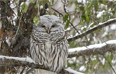 A Snowy Owl (hd.niel) Tags: barredowl owls wild raptor wildlife snow nature photos ontario photography birds