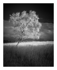 White Edge Moor - The Peak District / November 8th (Edd Allen) Tags: sunset sun light nikond610 nikon d610 countryside country atmosphere atmospheric 18mm landscape uk england greatbritain britain hills ethereal serene bucolic tor tree treescape infrared bw blackandwhite monochrome fineart silverbirch nikkor70200mm nikkor 70200mm whiteedgemoor thepeakdistrict