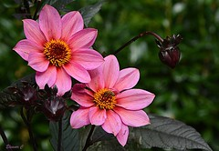 Thursday`s Flowers (Eleanor (Very busy)) Tags: flower dhalia grimsdyke harrowweald england uk nikond7100 october2019 pinkflowers bee