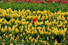 P1000729 (alainazer) Tags: lurs provence france fiori fleurs flowers fields champs colori colors couleurs tulipani tulipes tulips