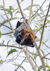 Island Flying Fox (Baractus) Tags: koh ouen bong song saa private island john oates cambodia flying fox pteropus hypomelanus