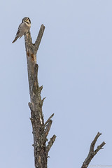 Hiiripöllö (Surnia ulula), Northern hawk-owl  (G10A0250LR) (pohjoma) Tags: hiiripöllö lintu surniaulula northernhawkowl canoneos7dmarkii canonef100400mmf4556lisiiusm finland nature wildlife wildanimal animal plumage birdwatching bird