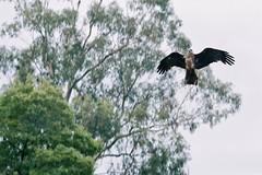 Wedge tailed eagle - Healesville Sanctuary (man_dancing) Tags: healesvillesanctuary spotmatic 135mmtakumar eagle