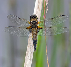Four-spotted Chaser. (pecky2013) Tags: dragonfly dragonflies specieslibellulaquadrimaculata fourspottedchaser ponds lakes