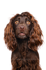 First glance at your new look (Wieselblitz) Tags: dog dogs cocker dogphotography dogportrait commercialphotography dogphotographer commercialdogphotography commercialdogphotographer commercialpetphotography commercialpetphotographer doginthestudio dogsonality portrait pet pets studio spaniel cockerspaniel studioportrait petportrait petphotography petphotographer portraitdog studiodog studiodogportrait elkevogelsang white emotion character personality surprise surprised shocked surpriseddog editorialphotography shockeddog editorialdogphotography editorialdogphotographer hair fluffy whitebackground whitestudio