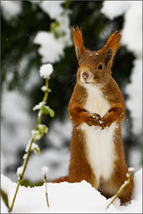Eichhörnchen im Schnee (robert.pechmann) Tags: squirrel eichhörnchen schnee naturephotography