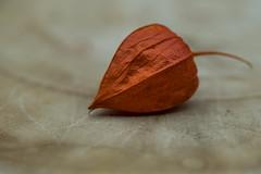 """Petite lanterne"" (JacLine Hein) Tags: macro orange plante nikon physalis"