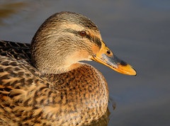 Female Mallard --- Anas platyrhynchos (creaturesnapper) Tags: birds uk europe waterbirds waterfowl ducks mallard anasplatyrhynchos
